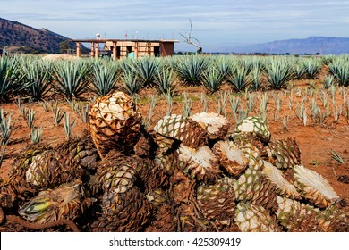 Harvesting agave for Tequila production. The fruits of the agave. Harvesting the agave. Agave in the field. Agave Ranch.