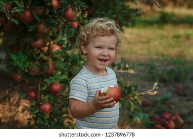 Harvesting apples. Cute little boy helping in the garden