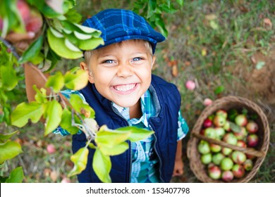 Harvesting apples. Cute little boy helping in the garden and picking apples in the basket.