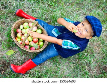 Harvesting apples. Cute little boy helping in the garden and eating apples out of the basket.