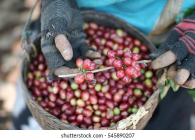 harvesting arabica coffee berries with agriculturist hand in Lao pdr