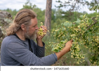 Harvesting, a bearded farmer man takes, cuts off linden inflorescences from a tree branch. Inhales the scent. Linden flowers medicinal plant for colds