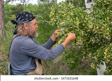 Harvesting, a bearded male farmer takes, cuts off linden inflorescences from a tree branch in summertime. Linden flowers medicinal plant for colds