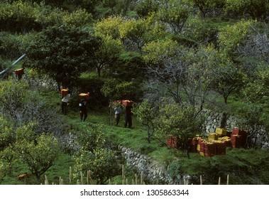 Harvesting Bergamot in Calabria Italy