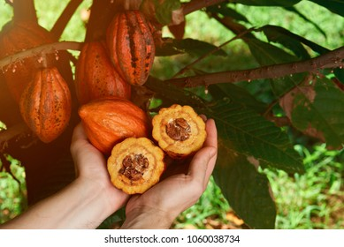 Harvesting cacao fruits. Close-up of hands holding cocoa pods