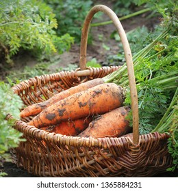 Harvesting carrots. Fresh carrots lying in basket. Fresh carrots picked from the garden.Organic food concept.