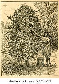 Harvesting coffee beans - old illustration by unknown artist from Botanika Szkolna na Klasy Nizsze, author Jozef Rostafinski, published by W.L. Anczyc, Krakow and Warsaw, 1911 - Shutterstock ID 97748513