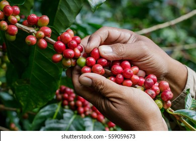 harvesting coffee berries by agriculturist hands