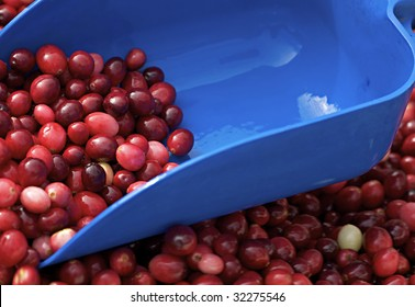 Harvesting cranberries in the autumn season