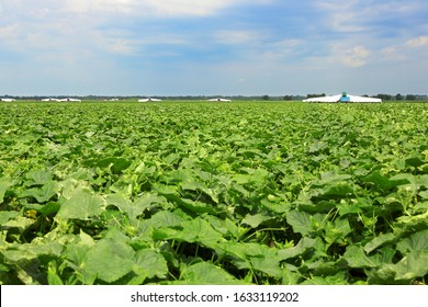 harvesting cucumbers in the field