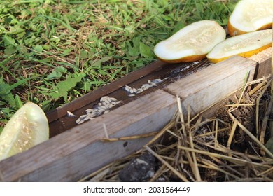 Harvesting and drying cucumber seeds, collecting seeds on the garden billets.