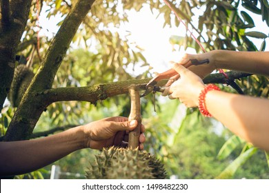Harvesting durian agricultural products. Two farmer haevesting durian by scissors cut branch of durian tree in Durians orchard.