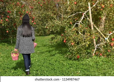 Harvesting in Fall Season Concept. Back side of Farmer Woman with Basket walking into the Orchard for Picking Apple Fruits