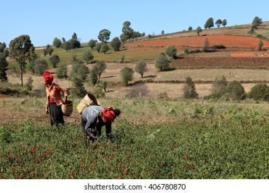 Harvesting and farming in Myanmar