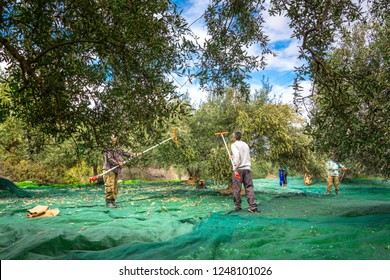 Harvesting fresh olives from agriculturists in an olive tree field in Crete, Greece for olive oil production
