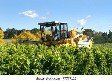 Harvesting Grapes in a vineyard near Sutton Forest, on the Southern Highlands of New South Wales, Australia