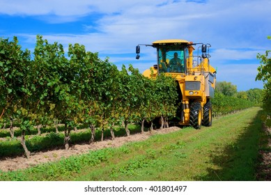 Harvesting grapes in a vineyard, Niagara on the Lake, Canada