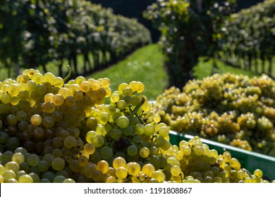 harvesting grapes Welschriesling in southern styria. It is a white wine grape variety, unrelated to the Rhine Riesling, that is grown throughout Central Europe.
