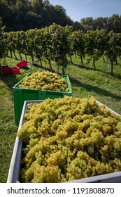 harvesting grapes Welschriesling in southern styria. It is a white winegrape variety, unrelated to theRhineRiesling, that is grown throughoutCentral Europe.