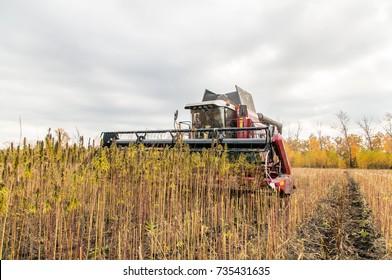Harvesting hemp on the field. Autumn/ Clouds