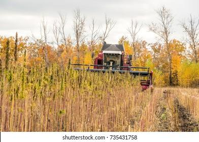 Harvesting hemp on the field. Autumn Clouds