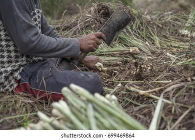 Harvesting Lemongrass.