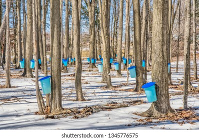 Harvesting maple syrup into blue pails from sugar maple trees in the snow