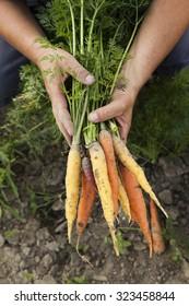 Harvesting Multicolored Heirloom Carrots