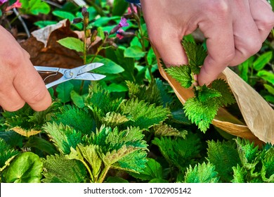 harvesting nettle leaves ,pruning the leaves with scissors