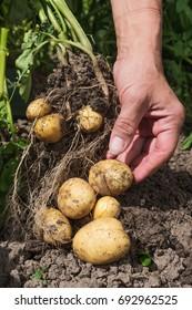 Harvesting new potatoes in hobby garden.