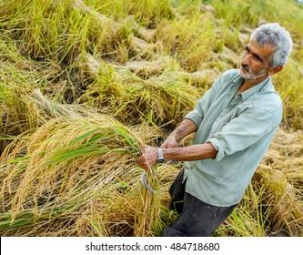 Harvesting on rice plantation