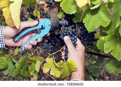 Harvesting Picking Grapes Man Hands Secateurs Selective focus