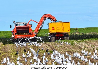 Harvesting potatoes by use of an excavator machine, followed by a flock of birds looking for food