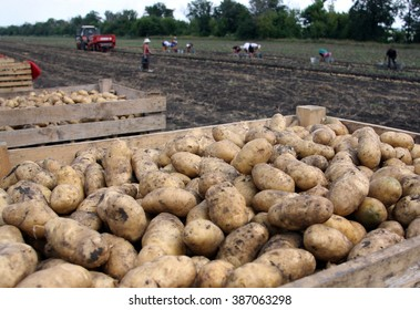 harvesting potatoes on an agricultural field