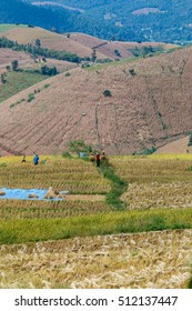 Harvesting the rice of Karen on the Hill. Ban Pa Pong Piang district in Mae jam Chiang Mai Province-November 5, 2016.