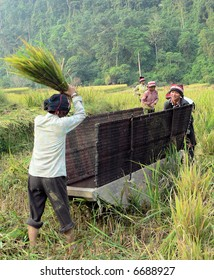 Harvesting rice in the North of Vietnam
