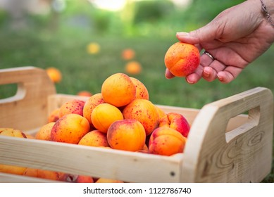 Harvesting ripe apricots in orchard. Gathering of homegrown produce in garden. Woman putting apricot to wooden crate.