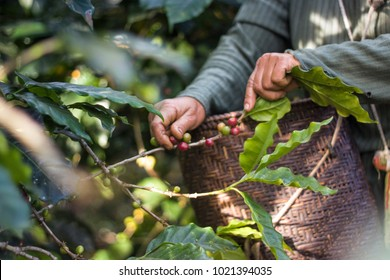 harvesting the ripped coffee beans in the basket