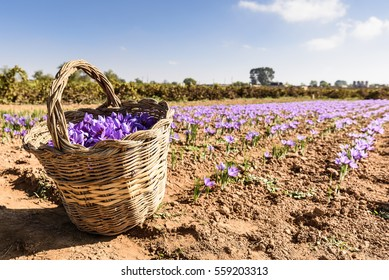 Harvesting of saffron in the field