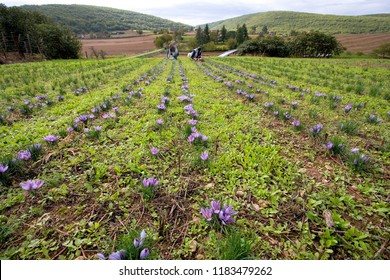 Harvesting saffron in France