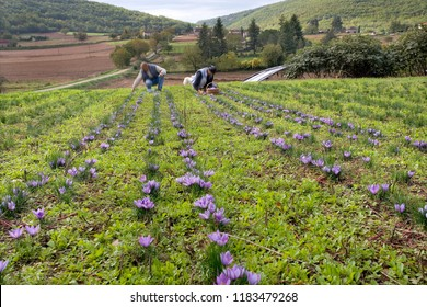 Harvesting saffron in France