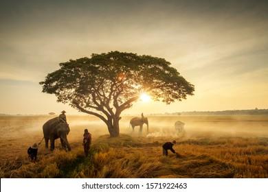 Harvesting season of rice field where farmers and elephants in farmland at sunrise, traditional farming