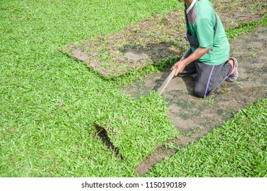 Harvesting sod or turf to be sold commercially