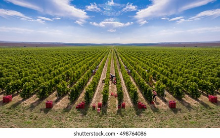 Harvesting vineyard in the autumn season, aerial view from a drone