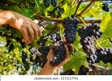 Harvesting in the vineyards. A man's hand with a pruner cuts a bunch of black wine grapes from the vine.