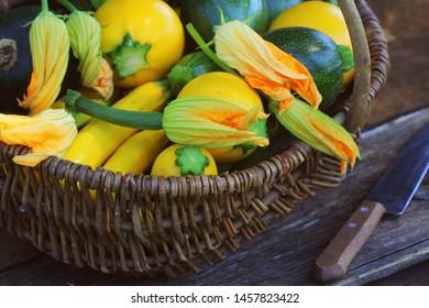 Harvesting zucchini. Fresh squash lying in basket. Fresh squash picked from the garden. Organic food concept .