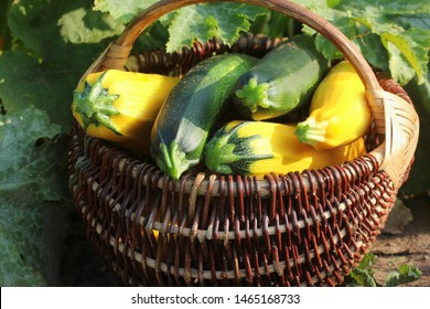 Harvesting zucchini. Fresh squash lying in basket. Fresh squash picked from the garden. Organic food concept .