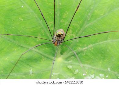 Harvestmen(Arthropoda: Arachnida: Opiliones). On leaf. In Wufeng,Hsinchu,Taiwan.