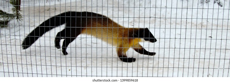 Harza, Indian marten (Martes flavigula) in the North of the breeding area in the snow. This marten lives in a large enclosure