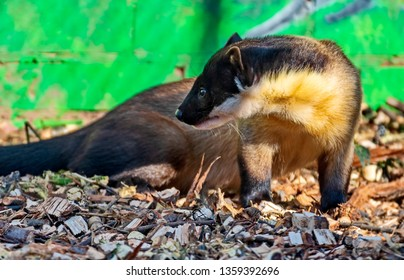 Harza, or yellow-breasted marten, or Ussuri marten (Martes flavigula) is a predatory mammal of the family of weasels. The largest and most brightly colored member of the genus of Martens.